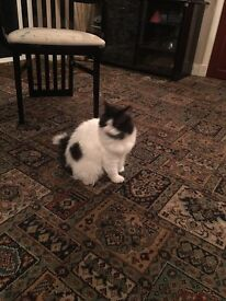 Persian black and white cat for sale