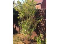 2x Garden Plant Ligustrum Ovalifolium £17 ONO
