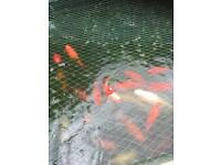Goldfish For Sale (large)