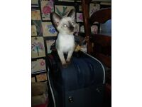 Pedigree Siamese kittens ready for loving homes chocolates seals and black oriental