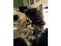 Beautiful male purebred Persian kitten