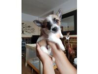 Boy chihuahua puppy for sale