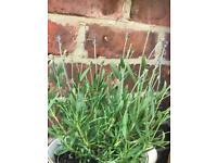 English Lavender Plants. Size: 30 cm (Incl. Pot)
