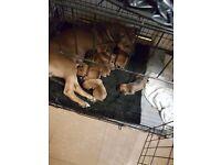douge de bordeaux cross mastiff puppies for sale