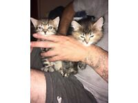 2 kittens 8 week old one female one male the male is tiny but both eating fine and litter trained