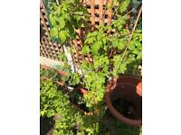 Rasbury plants