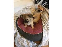 2 x male Beautiful chihuahua puppies
