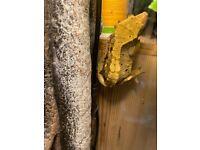 Female crested gecko 1yo