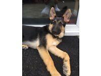 German shepherd 10 months old