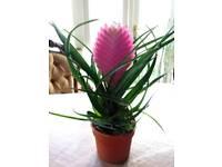 Tillandsia cyanea plant