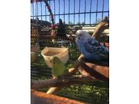 2 boy budgies with cage food and everything in pic
