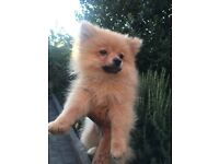 Gorgeous Female Pomeranian Puppy 7 months old