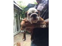 Little British bulldog boy