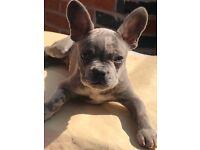 Boy French bulldog