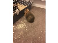 Male Guinea pig requiring new home (cage included)