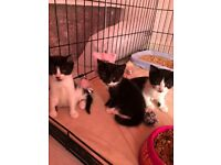 Black and white kitten female ready to leave