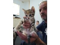 Part bengal kittens for sale