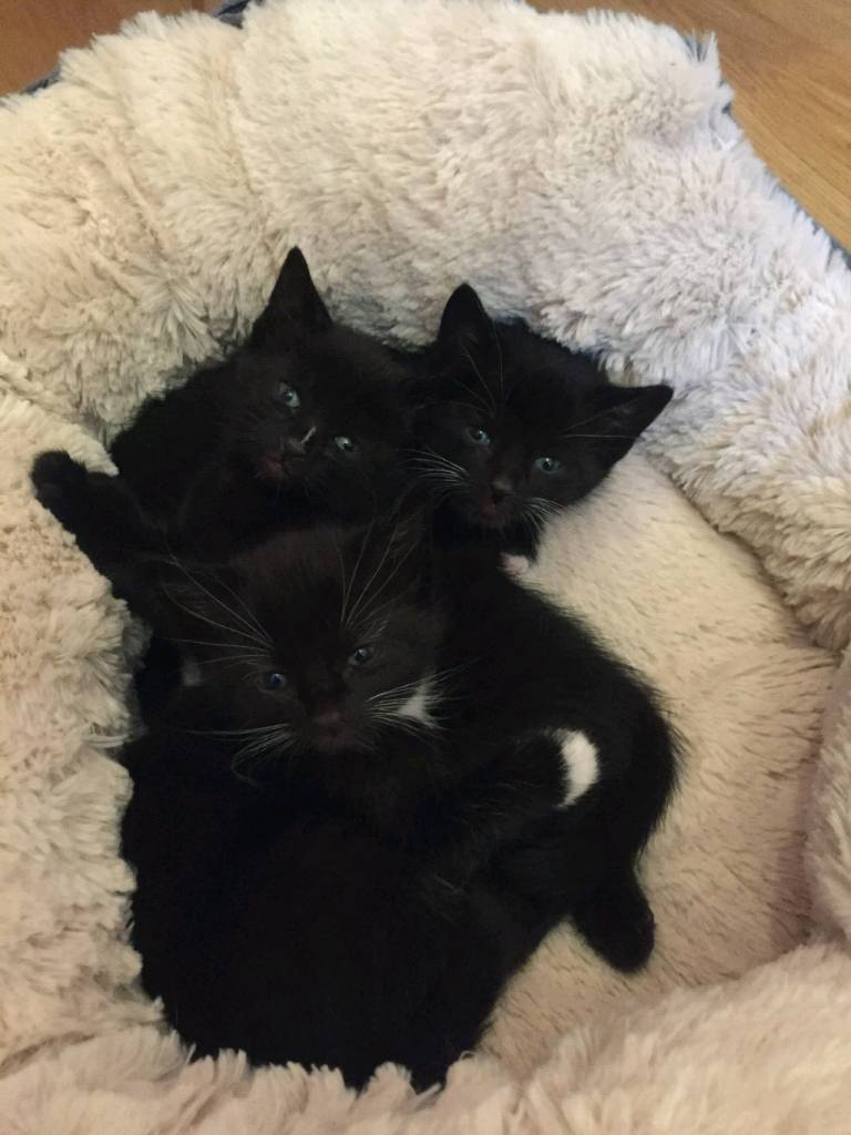 3 kittens for sale | in Mount Florida, Glasgow | Gumtree