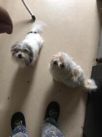 Two chihuahua, yorkie cross boys for sale