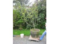 VERY LARGE STONE GARDEN PLANTER WITH APPLE TREE. VIEWING / DELIVERY AVAILABLE