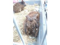 2x Large Male Belgian Pet Rabbits for sale. 1 year old. Lovely pets dark brown. £120 plus free cage.