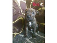 5 Staffordshire Bullterrier Cross German Sheppard puppies