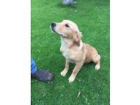 KC registered golden retriever bitch puppy