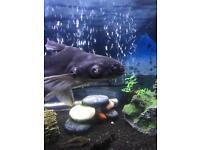 Shark cat fish 17 to 20 cm long