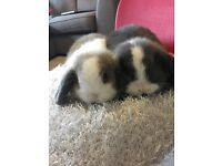 Two male mini lop rabbits