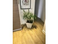 Dracaena Large House Plant