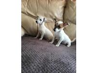 Jack Russell X chihuahua puppies!