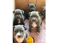 Blue staffies