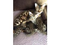 Bengal kittens