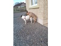 Fawn Stunning French Bulldog Puppy