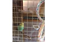Pair of budgies with cage for sale