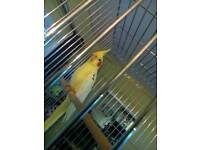 Pair of cockatiels and cage
