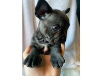 French bulldog puppies blue, blue fawn, sable KC Reg