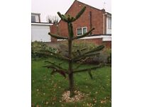 Monkey Puzzle Tree, Bristol