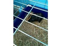 Guinea pigs sold pending collection