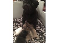 Beautiful KC registered pug puppies for sale