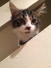 Kitten male