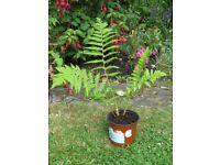 Fern garden plant in pot