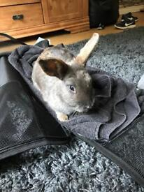 Missing Grey Dwarf Rabbit