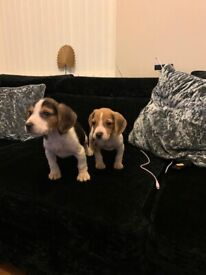 Stunning foot beagle puppies
