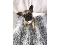 Stunning Fawn French Bulldog puppy for sale
