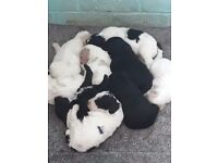 Spockerpoo puppies £750