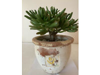 Pretty evergreen succulent crassula plant in terracotta pot, Easy to look after