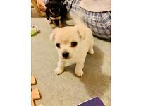 Pomchi puppies 1 girl left !!!!