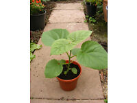 Paulownia tomentosa - empress tress saplings for sale