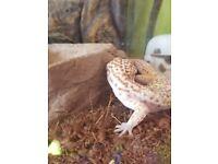 2 leopard geckos and set up